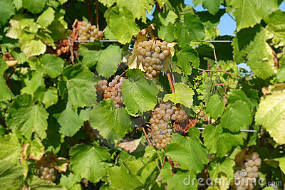 Grapes ripening on vine