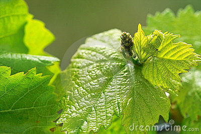 Grapes in spring