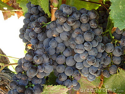 Grapes Of The Vine