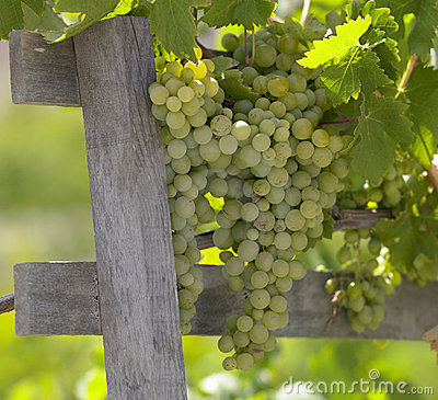 Grapes on the vine - Chile