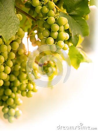 Grapes on Vine Portrait summer sun