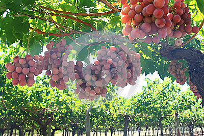 Grapes in vine yard