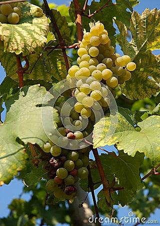 Grapes | Vineyard
