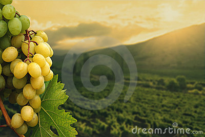 Grapes on vineyard background.