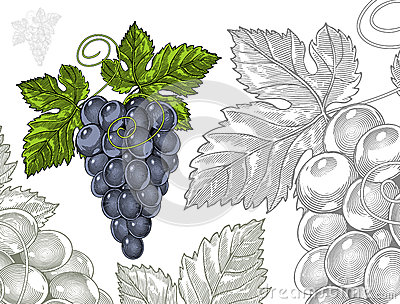 Grapes in vintage engraved style