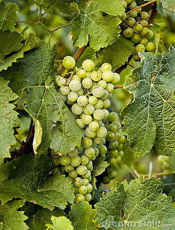 Grapes in a wine yard
