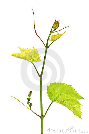 Free Grapevine Stock Photo - 14845290