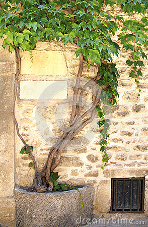 Grapevine and ancient wall