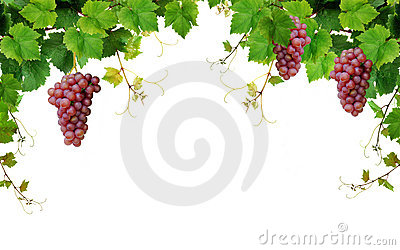 Grapevine border with wine grapes