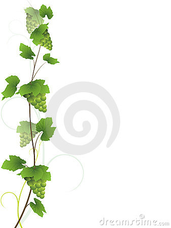 Grapevine with green grapes