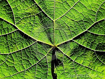 Grapevine leaf texture