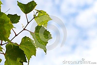Grapevine Leaves Blue Sky