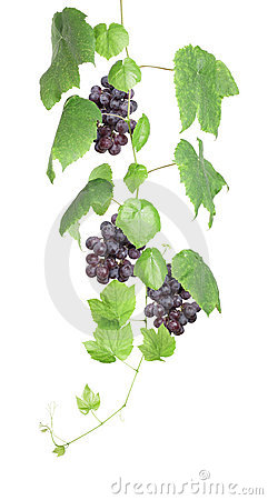 Grapevine with red grapes isolated