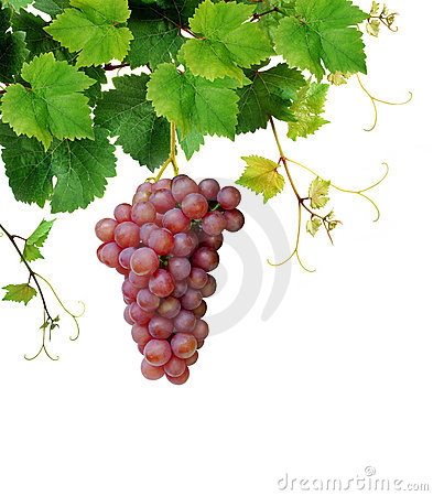 Grapevine with ripe pink grape cluster