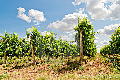 Grapevine rows