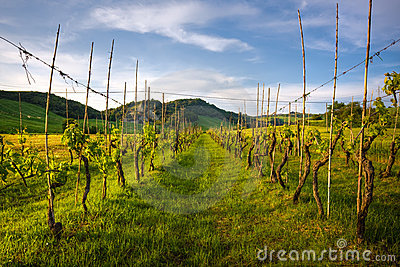 Grapevine rows in tuscany land