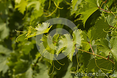 Grapevine on a sunny day