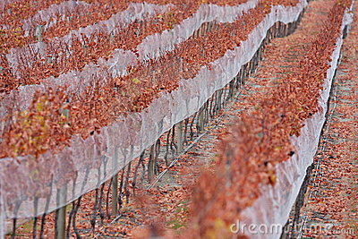 Grapevines in autumn
