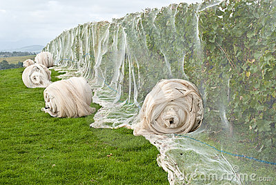 Grapevines protected by bird netting