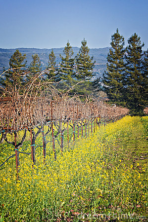 Grapevines in Winter, Wine Country California