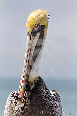 Free Graphic Close Up Portrait Of Pelican In Florida Keys Royalty Free Stock Images - 35016439