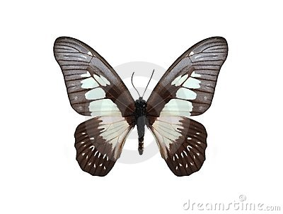 Graphium agamedes (Westwood s white-lady)
