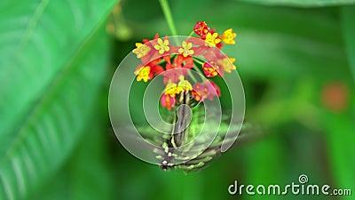 Graphium agamemnon, παρακολουθημένο να ταΐσει πεταλούδων του Jay πράσινο και μαύρο με το κόκκινο και κίτρινο blosson, στα πράσινα απόθεμα βίντεο