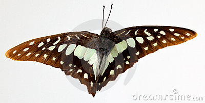 Graphium euphrates Butterfly