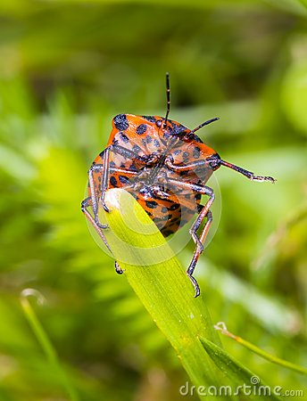 Free Graphosoma Lineatum Royalty Free Stock Photography - 55507027