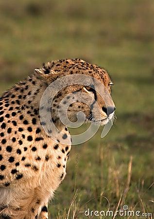 Égrappage de guépard