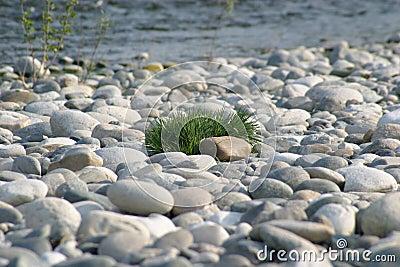 Gras auf Steinen