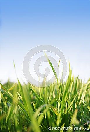 Gras, blauwe hemel
