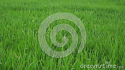Gras im Frühjahr stock footage