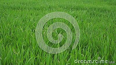 Gras im Frühjahr auf Windy Day
