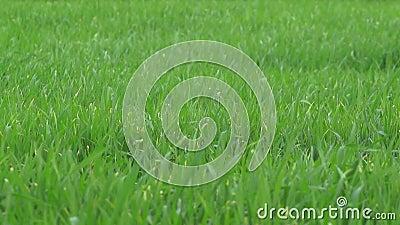 Gras im Wind - Zeitlupe stock video footage
