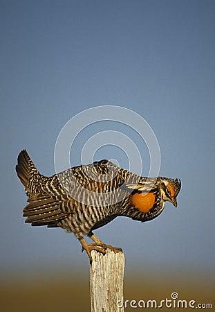 Grasland-Huhn, das auf Fencepost Strutting ist