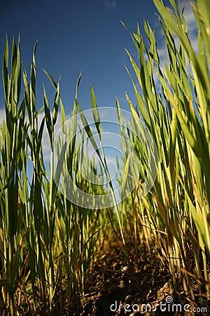 Free Grass Royalty Free Stock Image - 17648286