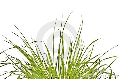 Grass against a white background