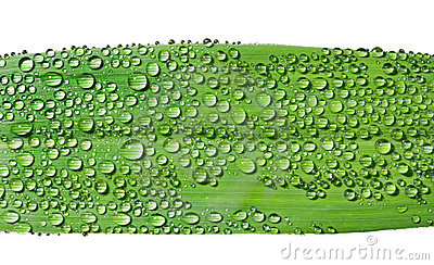 Grass-blade with dew 1