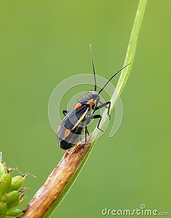 Grass bug