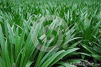 Grass - Closeup