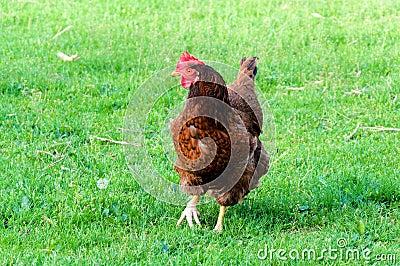 Grass cock