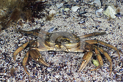 Grass Crab