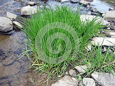 Grass at creek bed