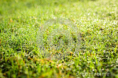 Grass with the dew