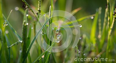 Grass With Dew Drops During Daytime Free Public Domain Cc0 Image