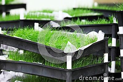 Grass divot