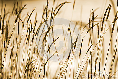 Grass ear background