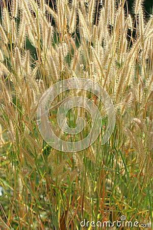 Grass ears