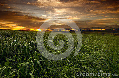 Grass field sunset